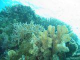 サンゴ再生中