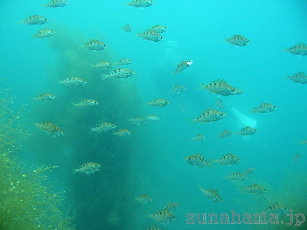 メバルの幼魚 1024×768