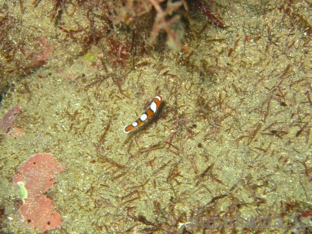 ツユベラの幼魚 1024×768