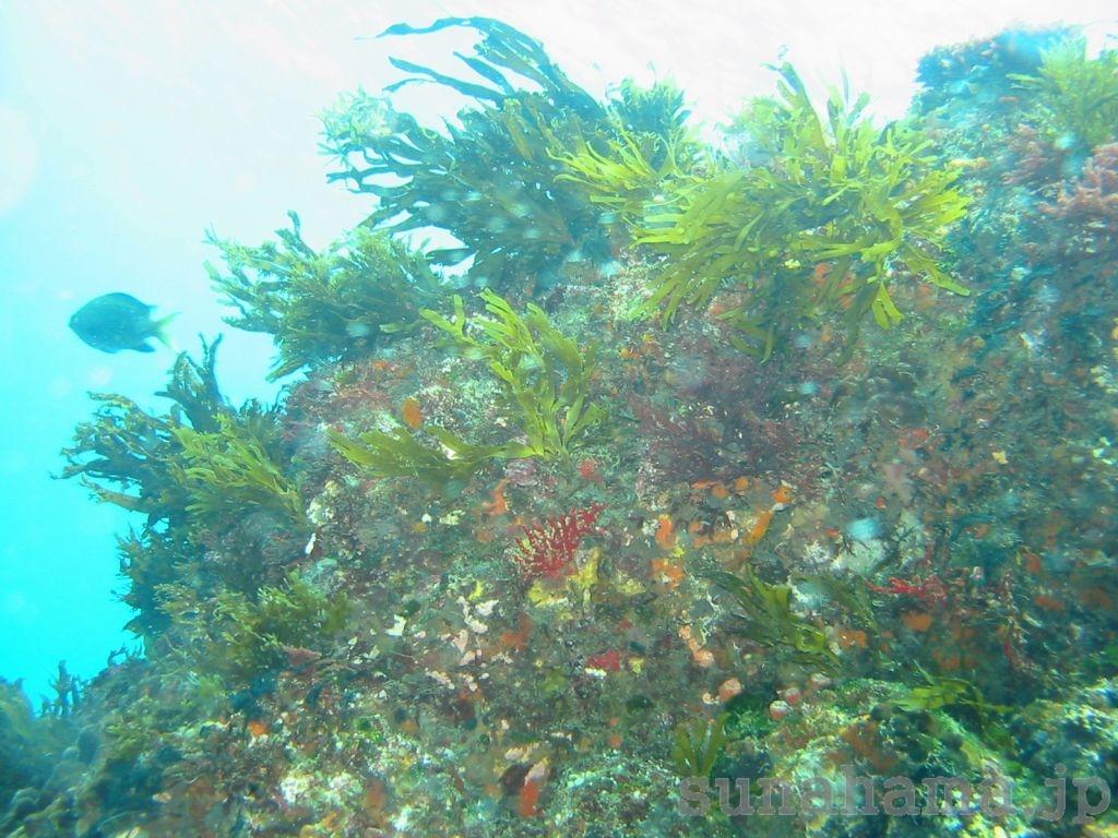 大久保浜の根の壁紙 1024×768【伊豆の海中壁紙 水中写真を壁紙にしました!】