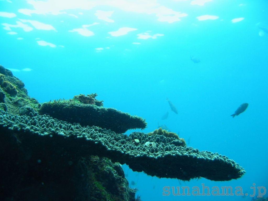 サンゴの壁紙 1024×768【伊豆の海中壁紙 水中写真を壁紙にしました!】