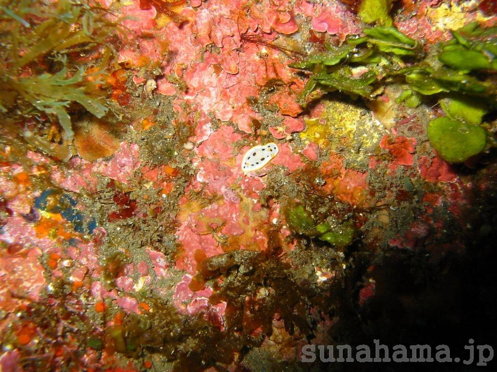 シロウミウシの壁紙 1024×768【伊豆の海中壁紙 水中写真を壁紙にしました!】