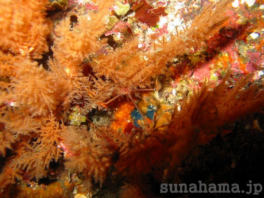 オルトマンワラエビの壁紙 1024×768【伊豆の海中壁紙 水中写真を壁紙にしました!】