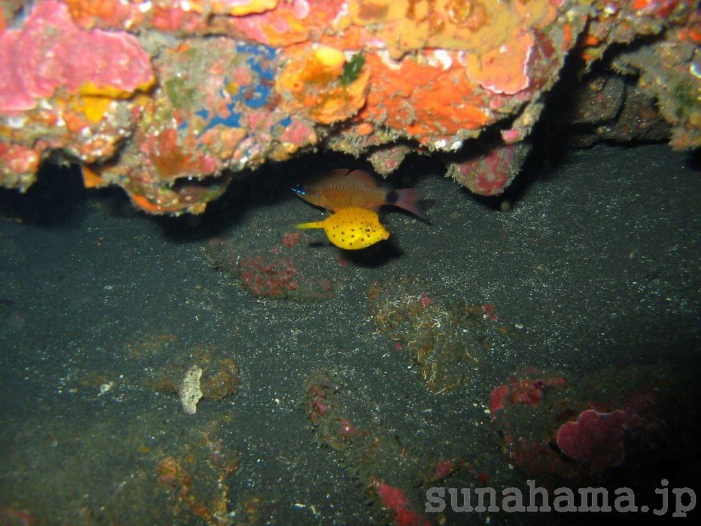 ミナミハコフグの幼魚の壁紙 1024×768【伊豆の海中壁紙 水中写真を壁紙にしました!】