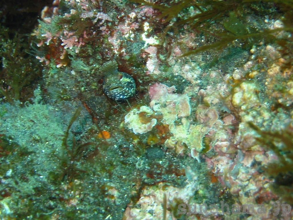 トウシマコケギンポの壁紙 1024×768【伊豆の海中壁紙 水中写真を壁紙にしました!】
