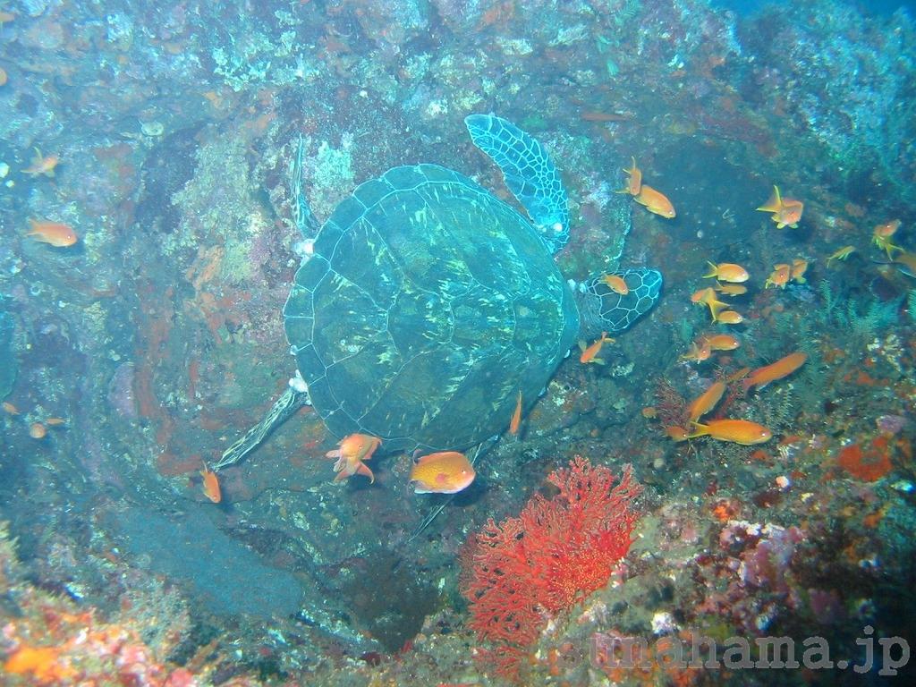 アオウミガメとキンギョハナダイの壁紙 1024×768【伊豆の海中壁紙 水中写真を壁紙にしました!】