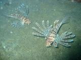 ミノカサゴ2匹【伊豆の海中壁紙 水中写真を壁紙にしました!】