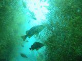 メバル【伊豆の海中壁紙 水中写真を壁紙にしました!】