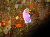 シンデレラミノウミウシの壁紙【伊豆の海中壁紙 水中写真を壁紙にしました!】