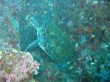 ウミガメの壁紙【伊豆の海中壁紙 水中写真を壁紙にしました!】