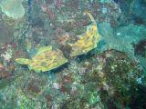 カワハギの壁紙【伊豆の海中壁紙 水中写真を壁紙にしました!】