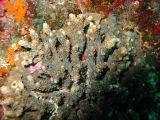 サンゴに隠れるメガネゴンベ