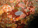ツブツブコイボウミウシの壁紙【伊豆の海中壁紙 水中写真を壁紙にしました!】