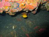 ミナミハコフグの幼魚の壁紙【伊豆の海中壁紙 水中写真を壁紙にしました!】