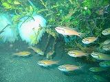 アオリイカの卵とネンブツダイの壁紙【伊豆の海中壁紙 水中写真を壁紙にしました!】