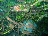 トラウツボとネンブツダイの壁紙【伊豆の海中壁紙 水中写真を壁紙にしました!】