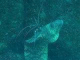 クリーニングされるウツボの壁紙【伊豆の海中壁紙 水中写真を壁紙にしました!】