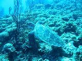 逃げるウミガメの壁紙【伊豆の海中壁紙 水中写真を壁紙にしました!】