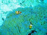カクレクマノミの壁紙【伊豆の海中壁紙 水中写真を壁紙にしました!】