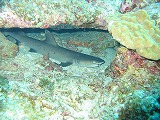 サメの壁紙【沖縄の海中壁紙 水中写真を壁紙にしました!】