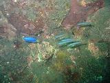 イトマンクロユリハゼの壁紙【伊豆の海中壁紙 水中写真を壁紙にしました!】