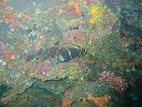 ユウゼンの壁紙【伊豆の海中壁紙 水中写真を壁紙にしました!】