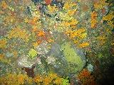 イボヤギの壁紙【伊豆の海中壁紙 水中写真を壁紙にしました!】