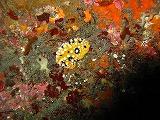 キイロイボウミウシの壁紙【伊豆の海中壁紙 水中写真を壁紙にしました!】