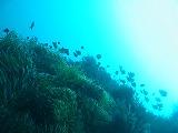 ミツボシクロスズメダイの壁紙【伊豆の海中壁紙 水中写真を壁紙にしました!】
