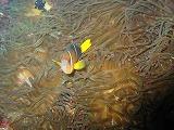 クマノミの壁紙【伊豆の海中壁紙 水中写真を壁紙にしました!】