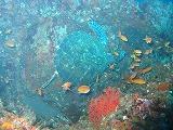 アオウミガメとキンギョハナダイの壁紙【伊豆の海中壁紙 水中写真を壁紙にしました!】
