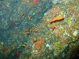 キンギョハナダイの壁紙【伊豆の海中壁紙 水中写真を壁紙にしました!】