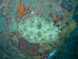 ヒラメ2【伊豆の海中壁紙 水中写真を壁紙にしました!】
