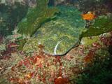 ヒラメ3【伊豆の海中壁紙 水中写真を壁紙にしました!】